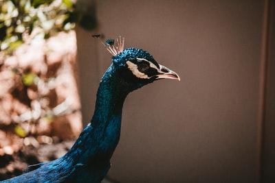 When did the 'peacocks' become extinct?